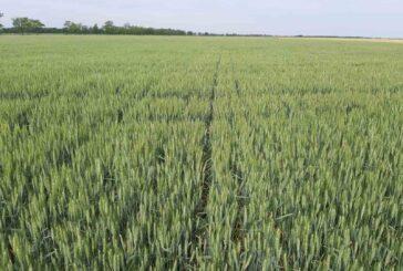 Zbog nedostatka vlage, pšenica pati
