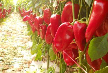 Ljubov dlan – sorta paprike i zaštitni znak Antovića i sela Prilipac