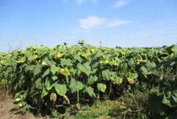 Žetva suncokreta se zahuhtava, a o cenama se još uvek polemiše