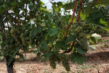 U fruškogorskom vinogorju moderne sorte za moderno doba