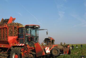 Prosečan prinos šećerne repe u Banatu je 55 tona po hektaru