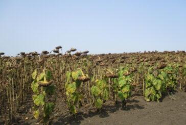 Otkupne cene suncokreta pokrenule lavinu nezadovoljstva zbog situacije u domaćem agraru
