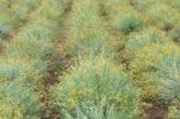 Mini-plantaže smilja u srcu Sićevačke klisure
