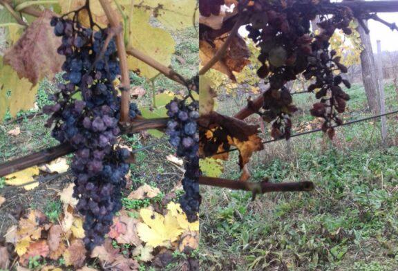Valjevo: Siva trulež vinove loze