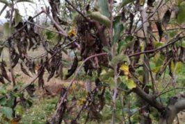 Negotin: Sprovođenje različitih mera zaštite voća tokom jeseni