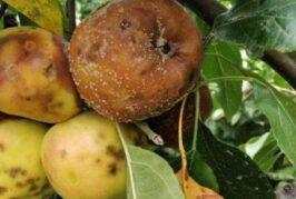 Negotin: Trulež ploda u zasadima jabuke