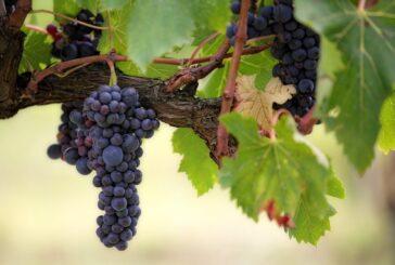 Šta predviđa strategija za razvoj vinogradarstva u narednih 10 godina?