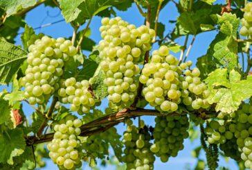 U drugoj polovini godine novac za vinogradare i vinare
