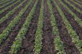 Zaštita uljane repice od repičinih pipa