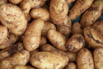 Konačno nađen kupac za tone krompira iz Gornjeg Branetića - Uskoro saradnja sa velikim lancima marketa