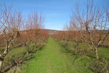 Oprez u zaštiti breskve i nektarine
