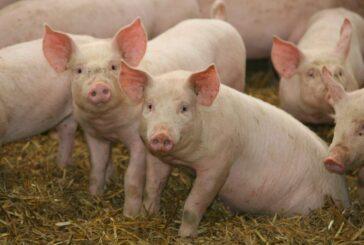 Od izvoznika, postali uvoznici svinjskog mesa
