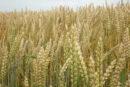 Ove godine veće površine pod kukuruzom i pšenicom