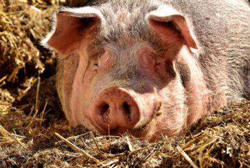 Samo će u Španiji i Rumuniji rasti proizvodnja svinja, kod ostalih priličan pad