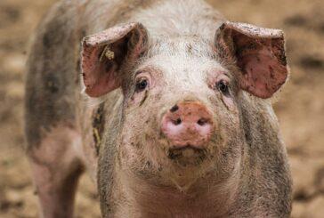 Nedimović: Moramo sprečiti afričku kugu svinja