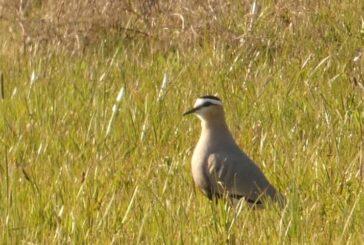 Jedinstveno ornitološko otkriće kod Niša - Stepski vivak prvi put zabeležen u Srbiji