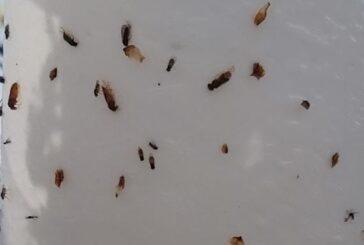 Prokuplje: Prisustvo šljivinih osa u zasadima šljive