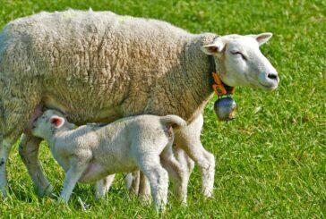 Hoće li se širiti stada u dragačevskim selima?