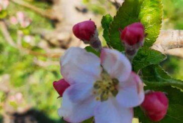 Kako zaštiti jabuke?