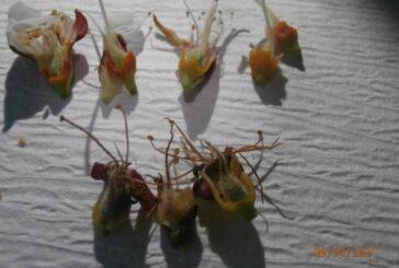 Prolećni mrazevi i izmrzavanje cvetnih pupoljka kod jabučastog i koštičavog voća