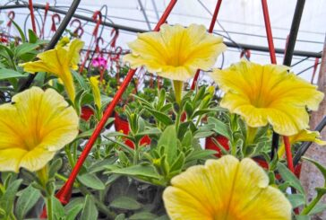 Kad je ostala bez posla Marina Katanić Rac se posvetila proizvodnji cveća
