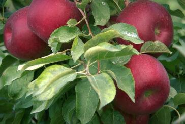 Zalihe jabuka u EU su više od očekivanja