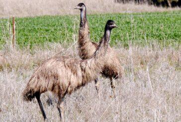 Uzgoj emua u Zrenjaninu - Par odraslih dostiže cenu od 1.200 EUR