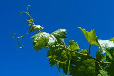 U maju se pravi računica u vinogradu