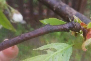 Sevojno: Pojava smeđeg listojeda na trešnji
