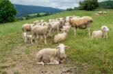 Kuršumlija: Za umatičenu ovcu 10.000 dinara iz opštinske kase