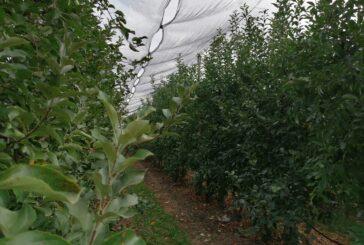 Jabukama iz Srbije preti konkurencija iz Irana