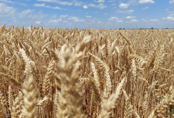 Robne rezerve: 10.000 tona merkantilne ovogodišnjeg roda za 5.555 tona semenske pšenice