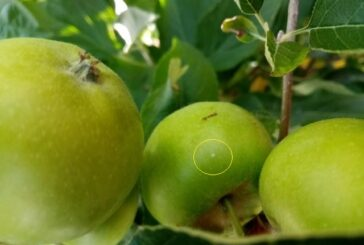 Zaštita jabuke: Vremenski uslovi pogoduju razvoju štetočina i patogena