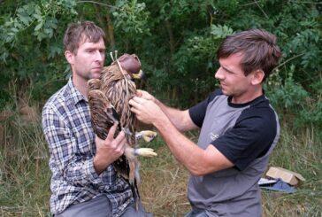 Dva mladunca orla krstaša po prvi put su obeležena satelitskim odašiljačima u Srbiji