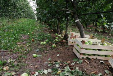 Pravilnik o izvozu zarobio jabuke u hladnjčama, a marketi ih uvoze iz Poljske