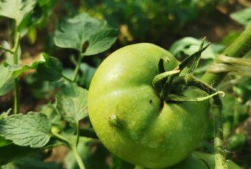 Prisustvo povrtne (zelene) stenice u usevima paprike i paradajza