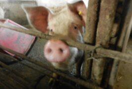 """PKS: Održana obuka """"Afrička kuga svinja i značaj biosigurnosnih mera u svinjarskoj proizvodnji"""""""