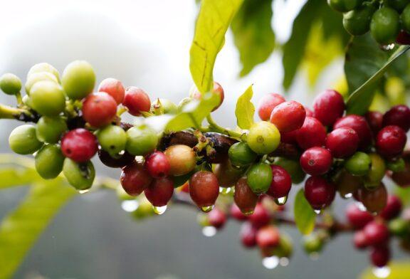 Hoće li se kafa gajiti u Italiji?