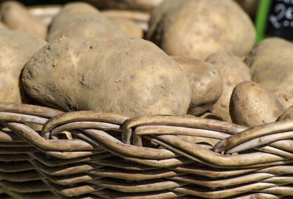 Gangrena krompira nanosi velike štete u skladištu