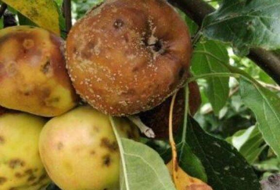 Neadekvatna zaštita uzrok truleži plodova jabučastog voća